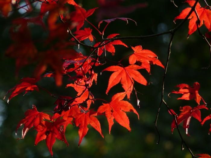 Acer palmatum Bloodgood P1130430.JPG