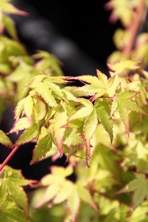Acer palmatum 'Little Princess' (Japanse esdoorn) 2.jpg