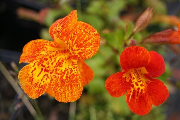 Mimulus 'Orange Glow' (Maskerbloem)