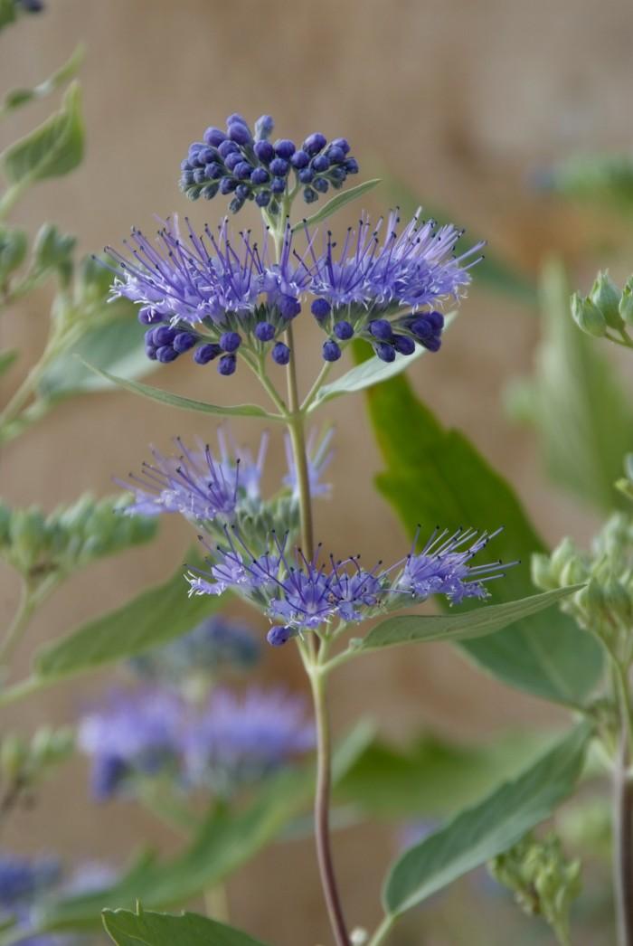 caryopteris clandonensis 39 heavenly blue 39 baardbloem of. Black Bedroom Furniture Sets. Home Design Ideas