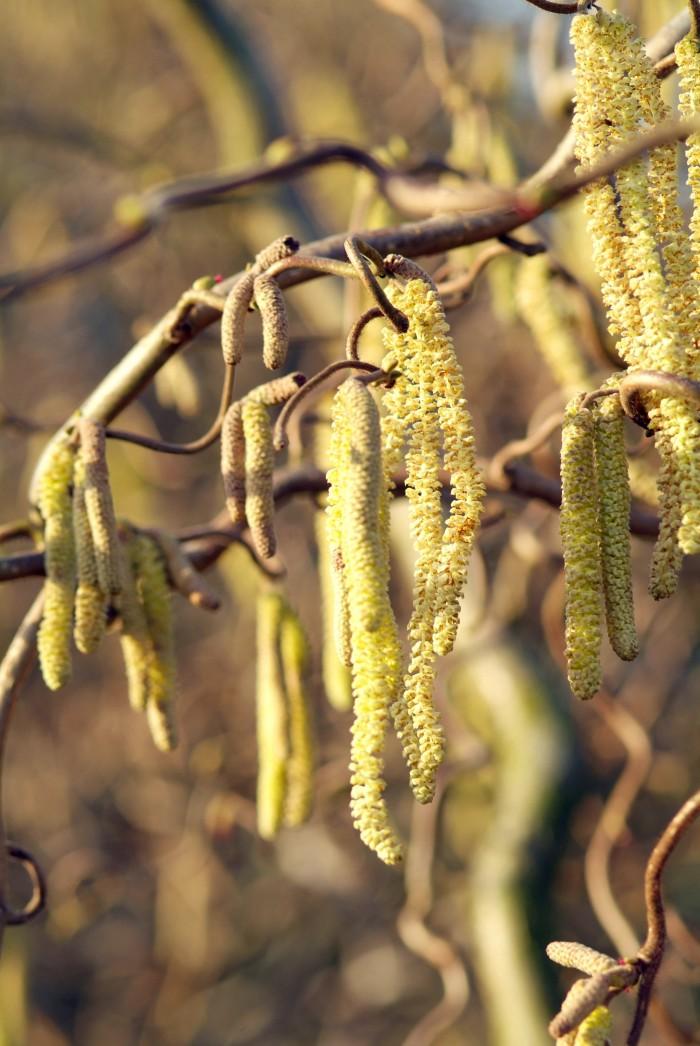 Corylus avellana (hazelnoot, hazelaar)