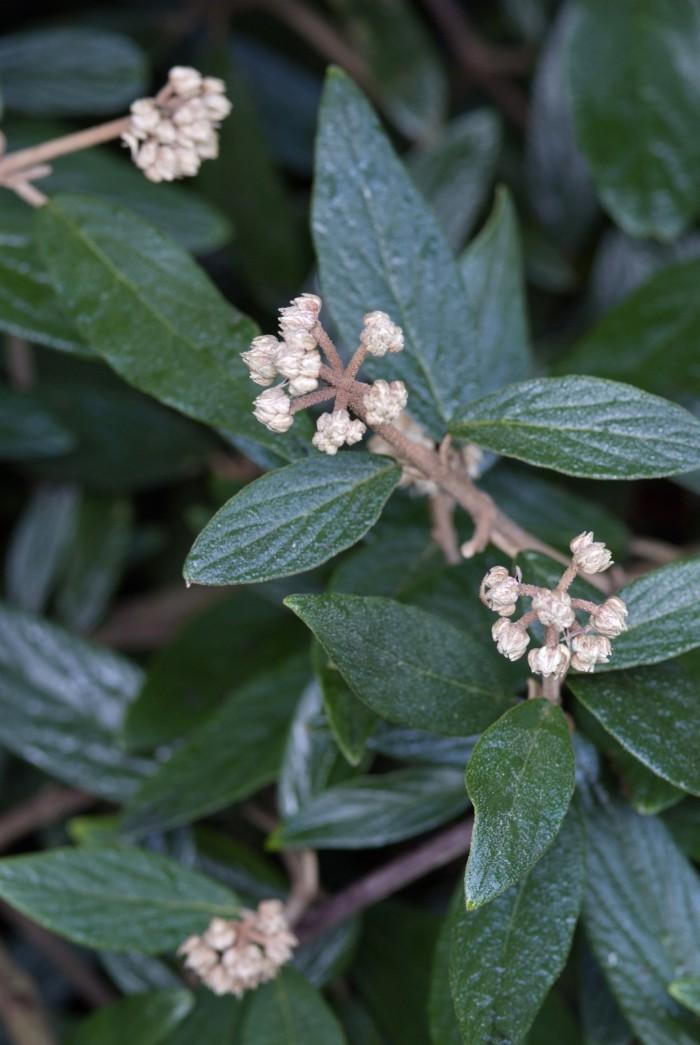 Viburnum pragense (3).jpg
