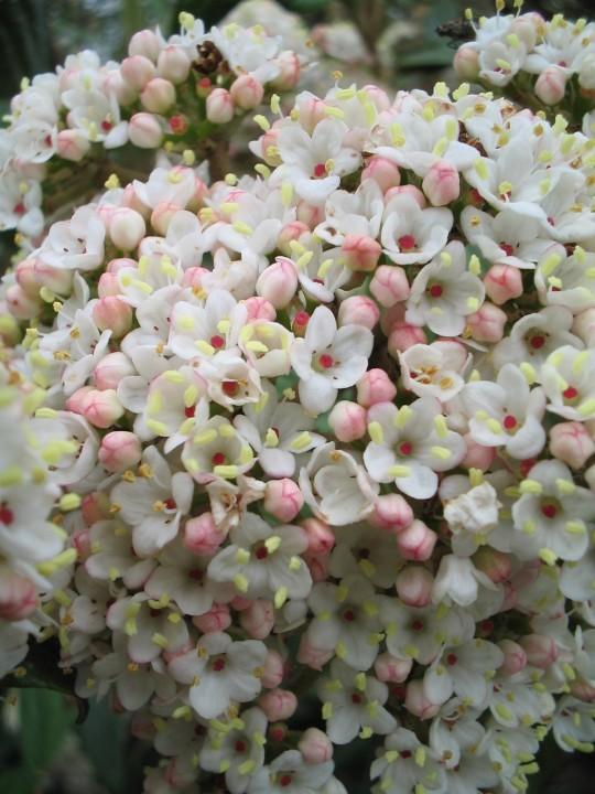 Viburnum pragense (Sneeuwbal).jpg