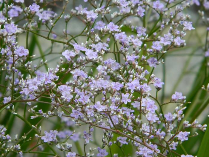 Limonium Latifolium  Violetta DSCN3511.JPG
