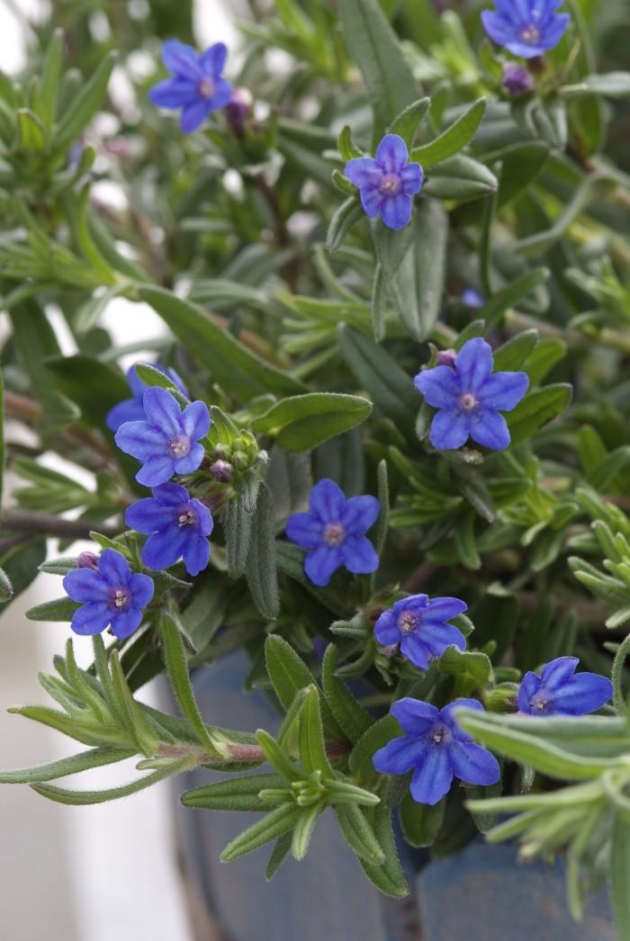 Lithodora diffusa 'Heavenly Blue'.jpg