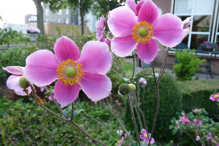Anemone hupehensis Praecox P1050357.JPG