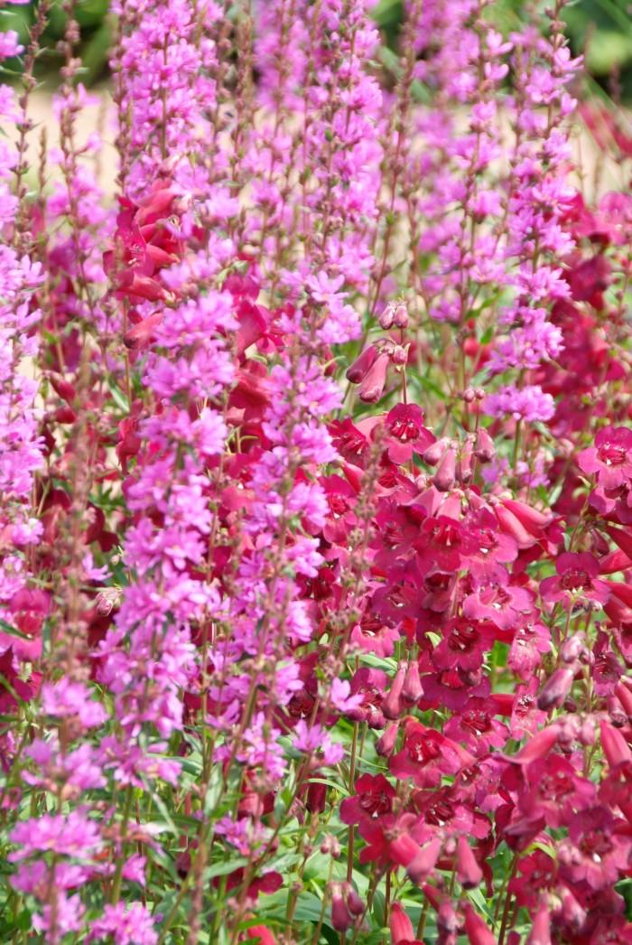 Penstemon 'Rich Ruby' Lythrum salicaria 'Robert'.jpg