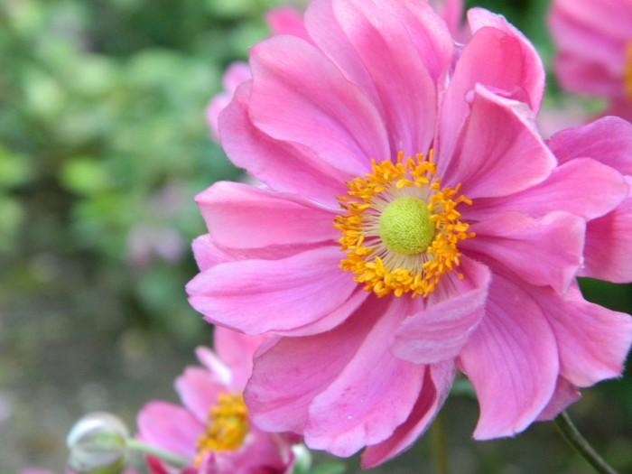 Anemone hybrida 'Serenade' (Herfstanemoon) DSCN0916.JPG