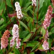 Persicaria affinis 'Superba' (Duizendknoop) - p9