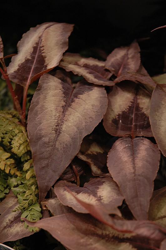 Persicaria microcephala 'Red Dragon' (Duizendknoop).jpg