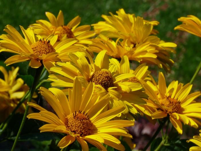 Heliopsis helianthoides 'Summer Sun' (Zonneoog).JPG