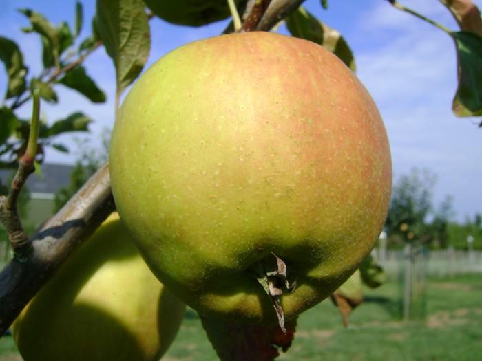 Appelboom Golden Delicious 2.JPG