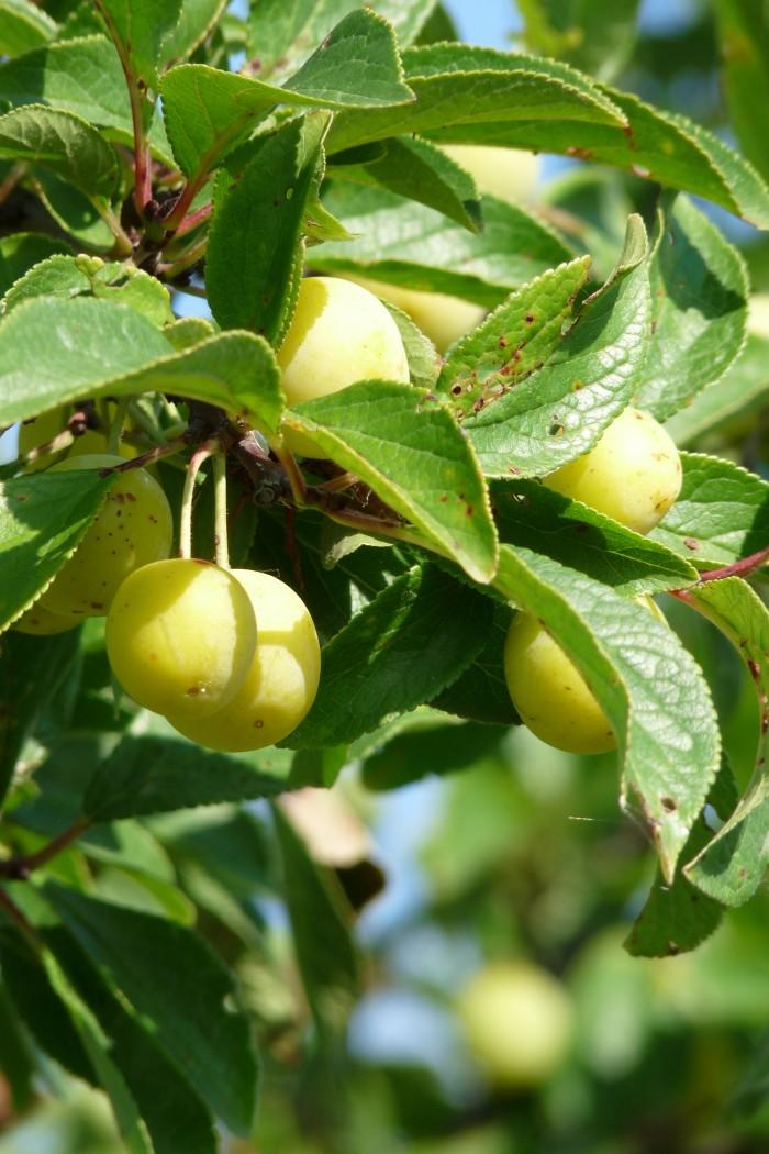 pruimenboom Mirabelle de Nancy (Kroosje, Prunus domestica Mirabelle de Nancy) 3.JPG