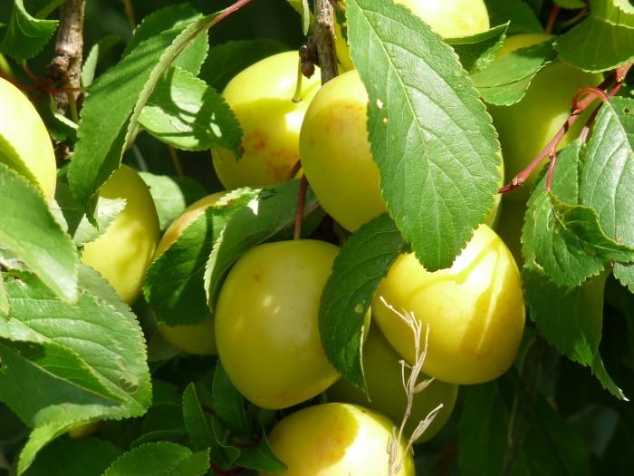 pruimenboom Mirabelle de Nancy (Kroosje, Prunus domestica Mirabelle de Nancy) 4.JPG