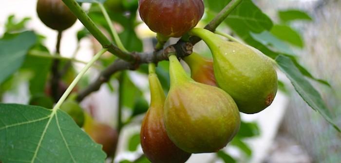 Vijg 'Del Portogallo' (Ficus carica 'Del Portogallo') 4.jpg
