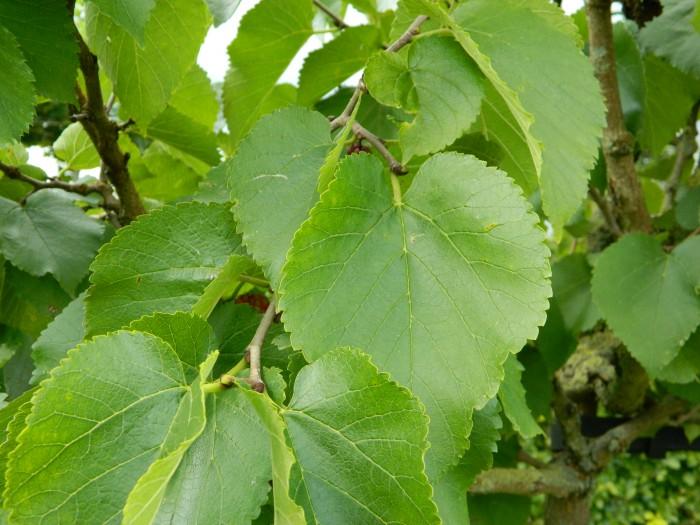 Morus nigra (Zwarte moerbei, Moerbeiboom) 3.JPG
