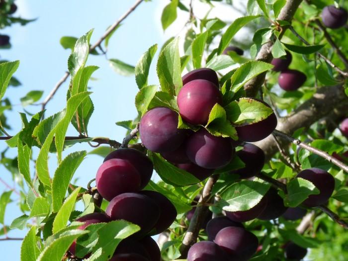 Prunus domestica 'Anna spath', Anna spath pruim (0).JPG