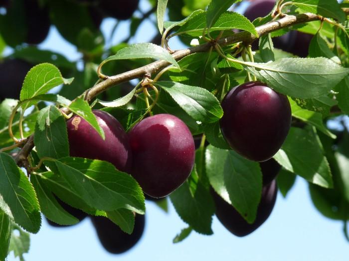 Prunus domestica 'Anna spath', Anna spath pruim (2).JPG