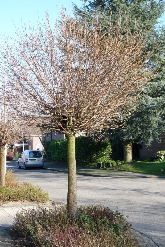 Acer campestre 'Nanum' (Veldesdoorn, Bolveldesdoorn).JPG