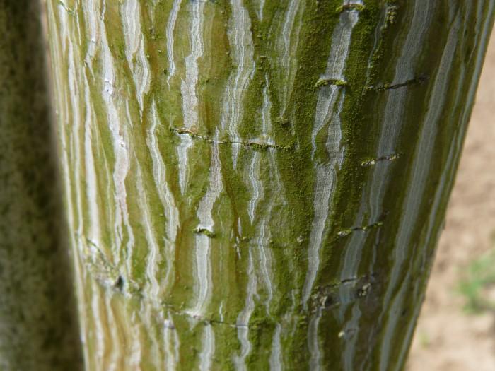 Acer davidii (Chinese esdoorn, Davids esdoorn, Slangenhuidesdoorn) 1.JPG