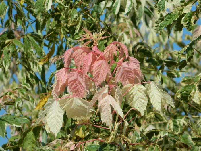 Acer negundo 'Flamingo' (Bontbladige Vederesdoorn, Californische esdoorn) 1.JPG