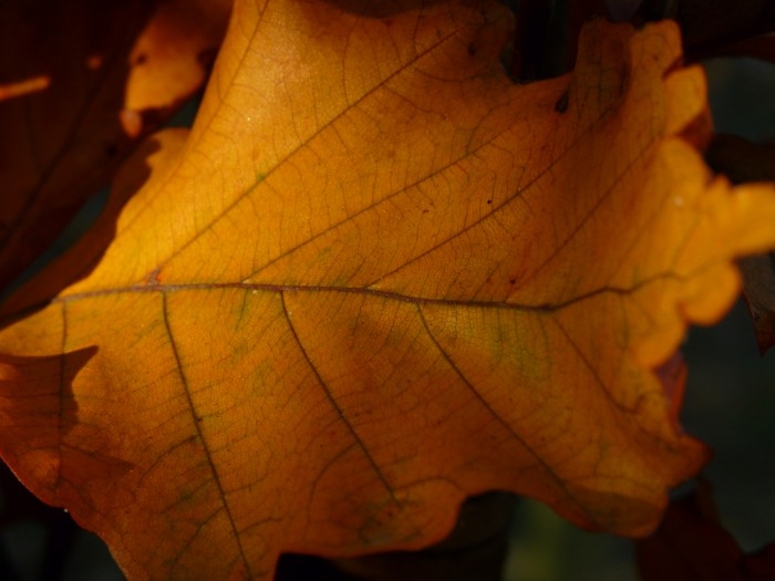 Fagus sylvatica 'Dawyck Gold' (Gele zuilbeuk) 1.JPG
