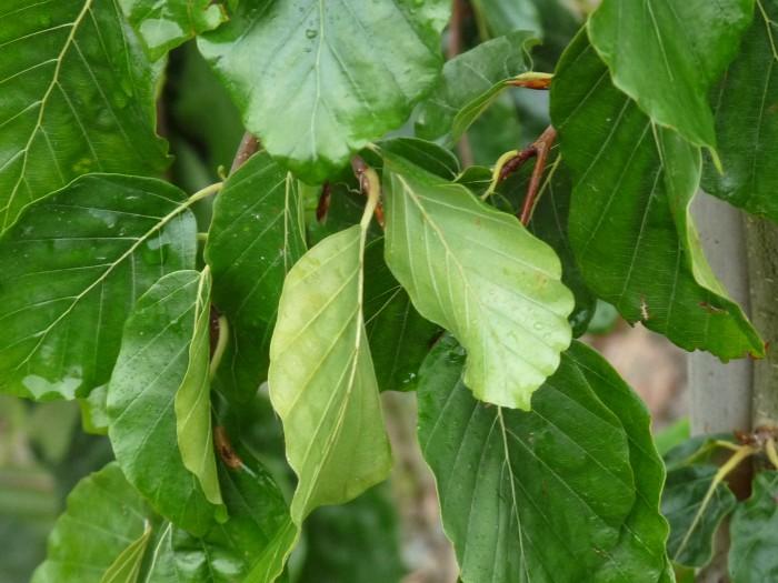 Fagus sylvatica 'Pendula' (Groene treurbeuk, Treurbeuk) 1.JPG