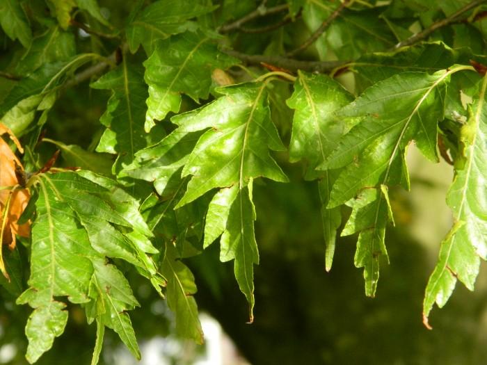 Fagus sylvatica 'Asplenifolia' (Varenbeuk, Varenbladige beuk).JPG
