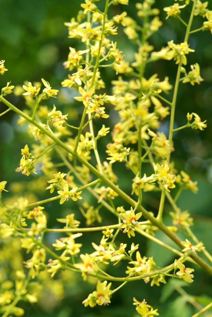 Koelreuteria paniculata (Chinese Vernisboom, Blazenboom, Koelruit) 1.jpg