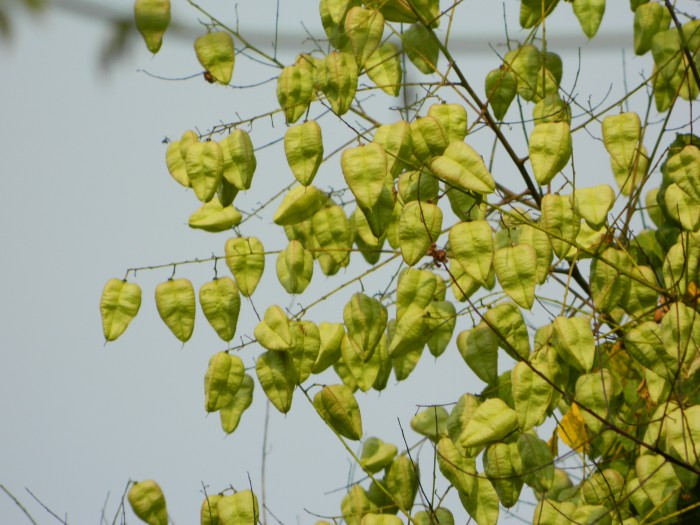 Koelreuteria paniculata (Chinese Vernisboom, Blazenboom, Koelruit) 2.JPG