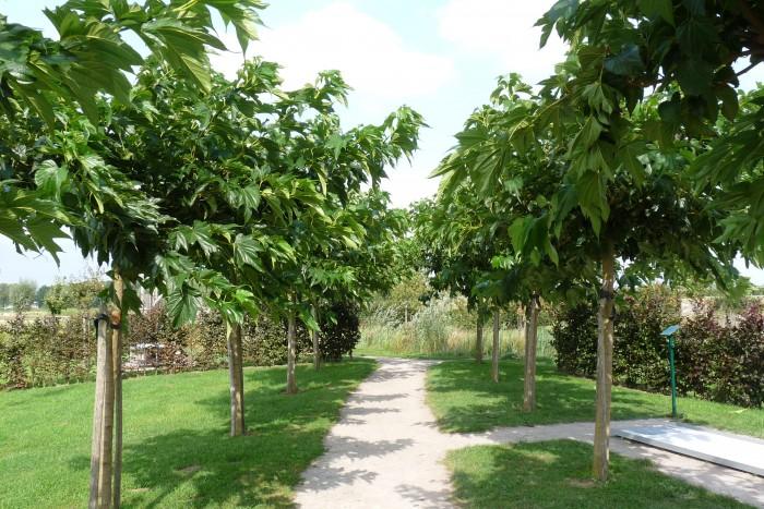 Moerbei boom dakvorm (Basic, Morus alba 'Fruitless', dakboom in pot).JPG
