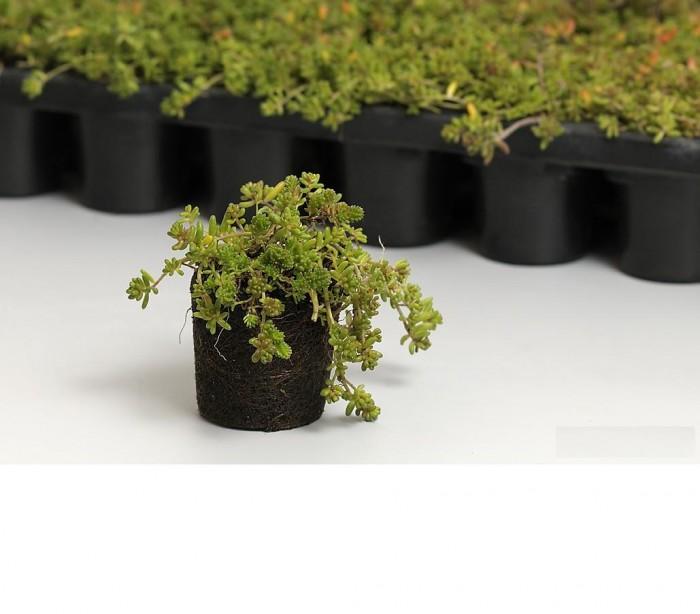 Sedum pluggen (per 25 stuks) dakgroen, sedumdak, dakbeplanting.jpg