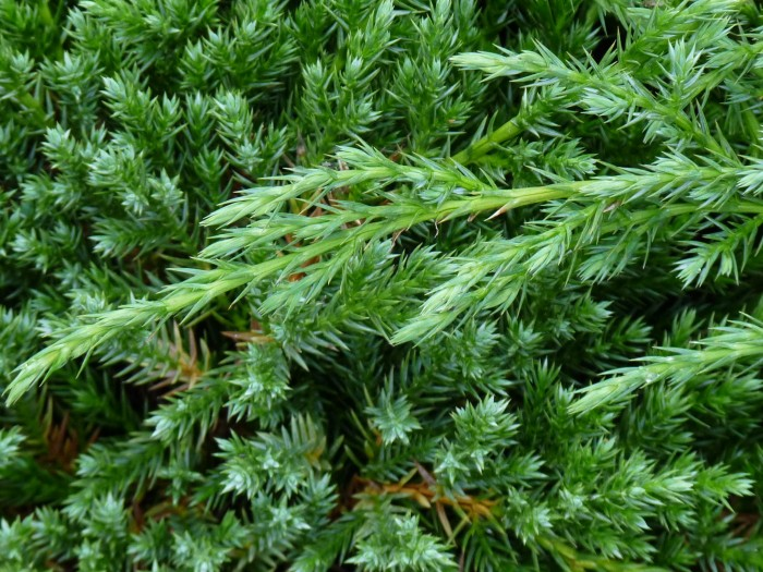 Juniperus chinensis 'Blue Alps' (Chinese jeneverbes).JPG