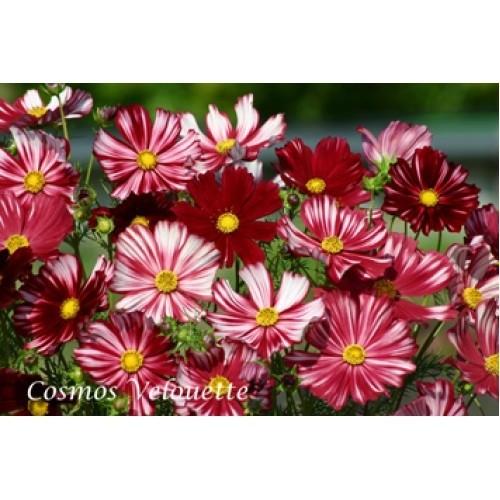 Cosmea Velouette (zaad Cosmos, Bloemen in diep wijnrood met witte strepen).jpg