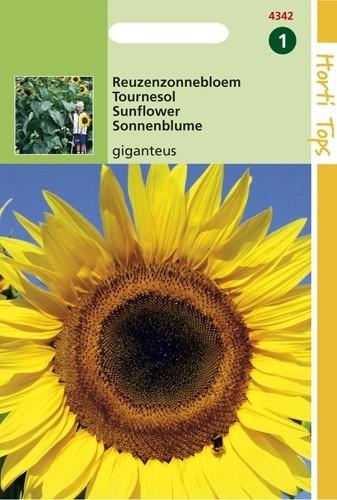Helianthus annuus giganteus (zaad Reuzenzonnebloem).jpg