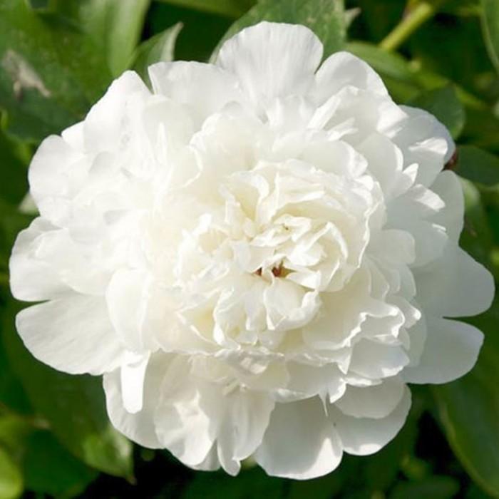Paeonia lactiflora Elsa Sass (witte pioenroos, Weiße Pfingstrose, White garden peony).JPG