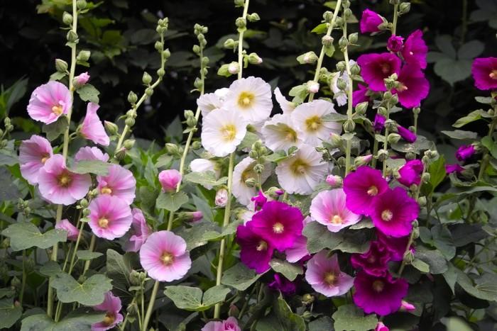 Alcea rosea mix (stokroos)