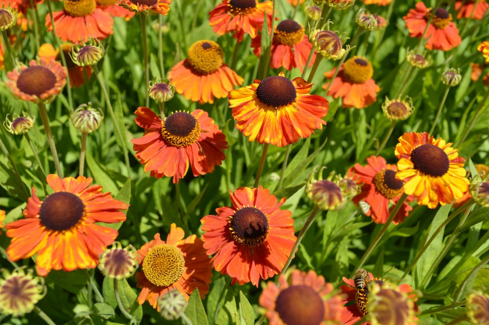 Prariebeplanting - De Tuinen van Appeltern