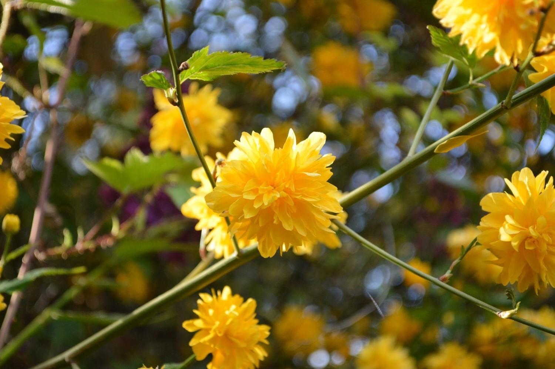 Kerriestruik (Kerria japonica)