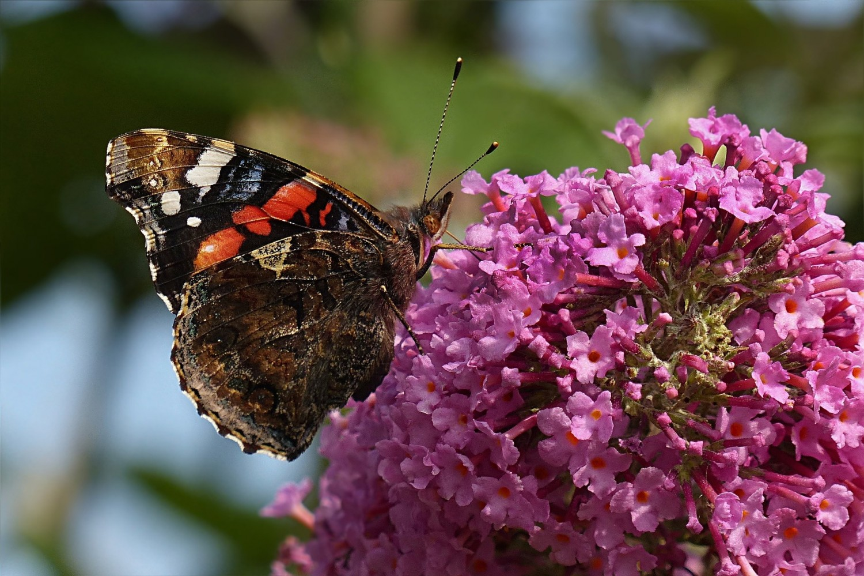 Vlinderstruik (Buddleja davidii)