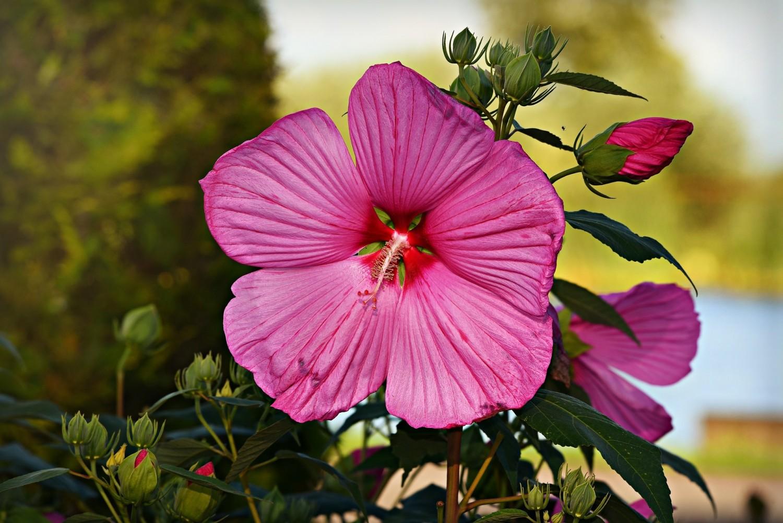 Altheastruik (Hibiscus)