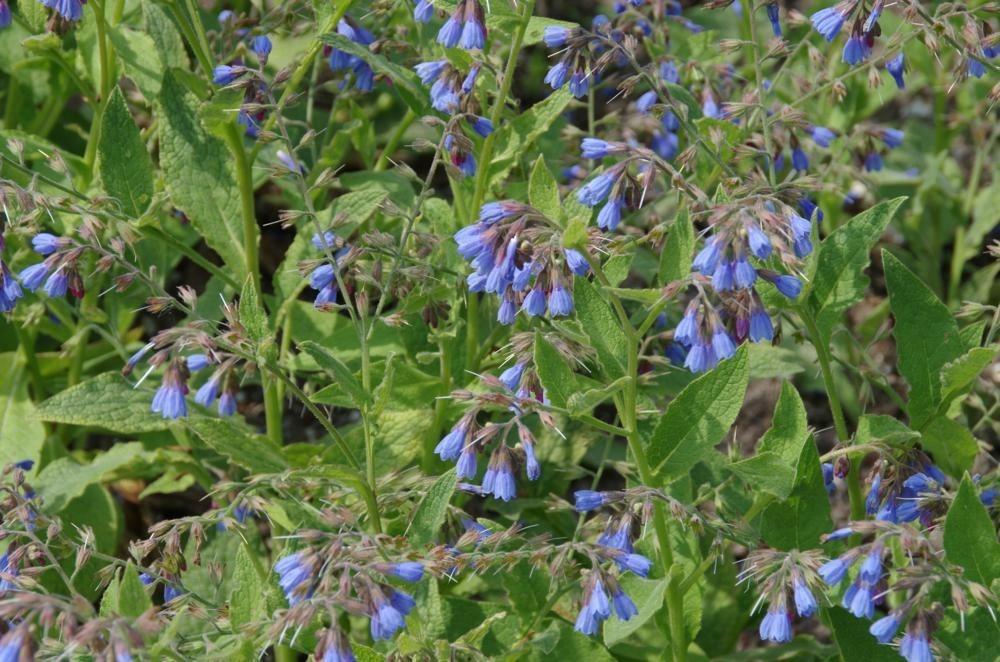 Symphytum caucasicum - Blauwe smeerwortel
