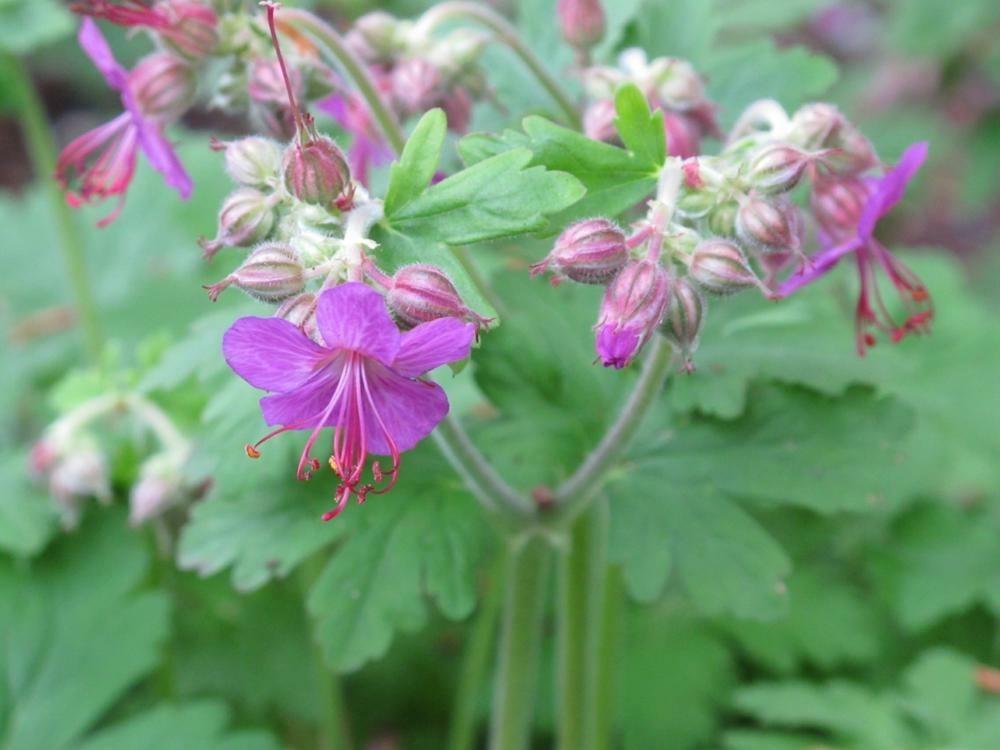 Geranium macrorrhizum 'Bevan's Variety' - Ooievaarsbek