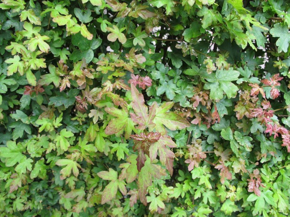Acer campestre - Spaanse aak, Veldesdoorn