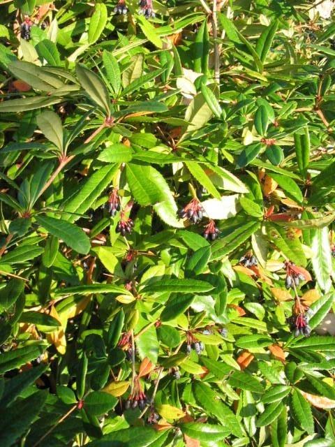 Berberis julianae - Zuurbes