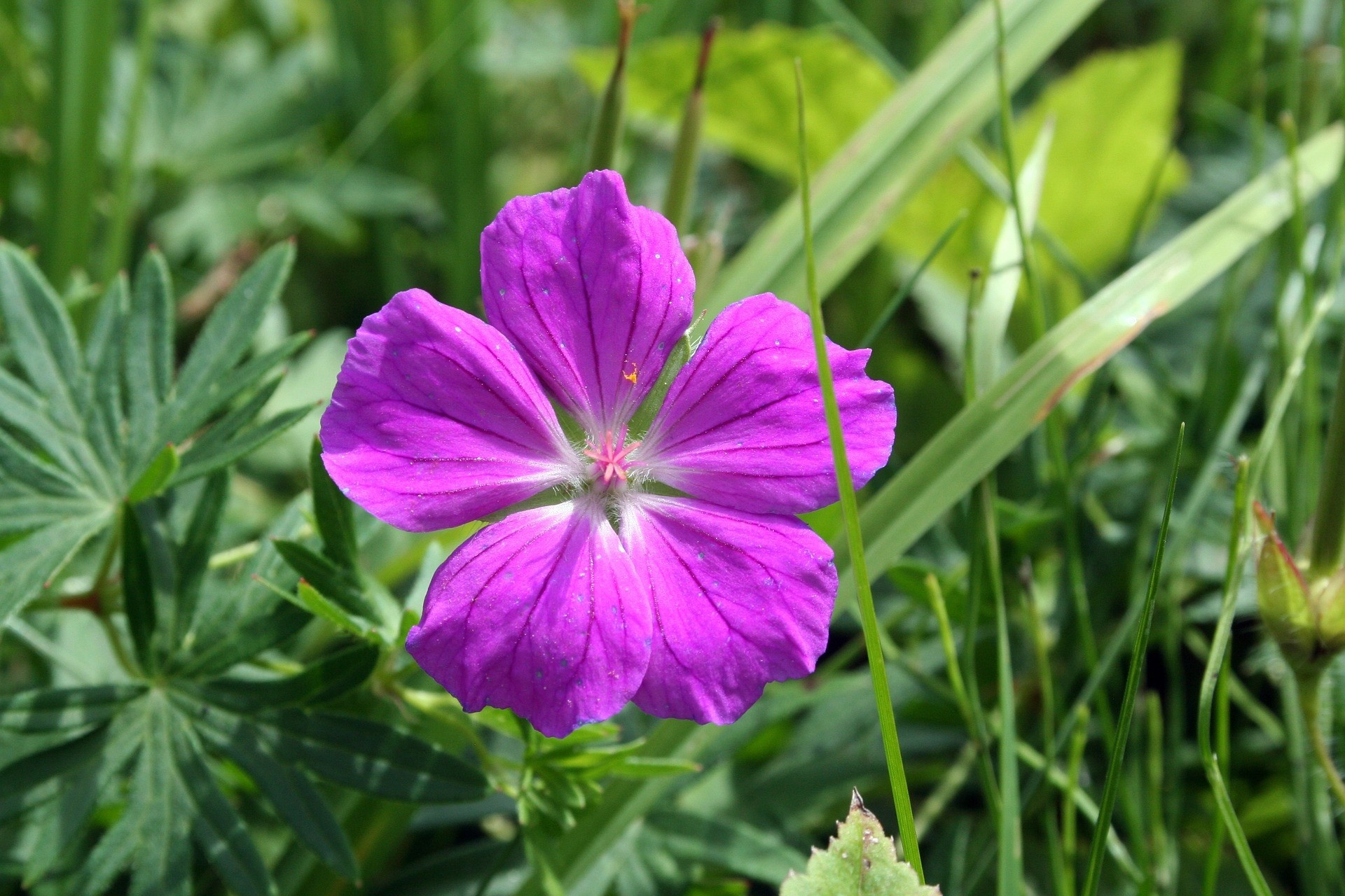 Geranium Sanguineum - De Tuinen van Appeltern