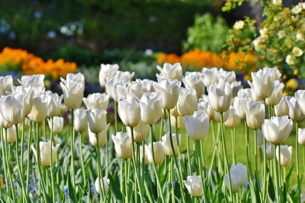 Tulpen - De Tuinen van Appeltern