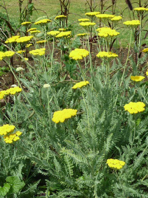Verwonderend Zomerbloemen die goed tegen droogte kunnen | De Tuinen van Appeltern OS-12