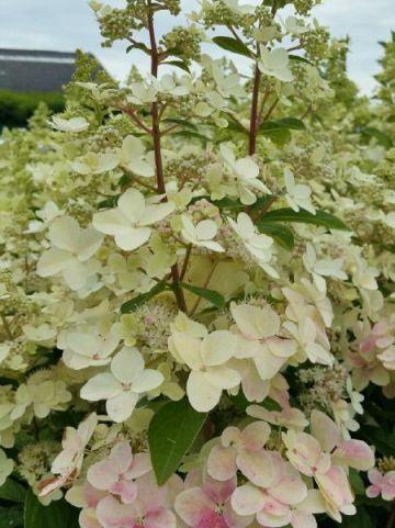 Hydrangea paniculata 'Confetti' (='Vlasveld 02') - Pluimhortensia