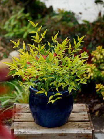 Nandina domestica 'Brightlight' (='Selten004') - Schijnbamboe , Hemelse bamboe